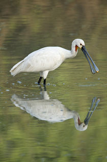 Eurasian spoonbill (Platalea leucorodia) in a lake by Panoramic Images