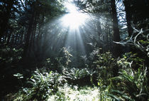 Sunshine Through Mist And Trees by Panoramic Images