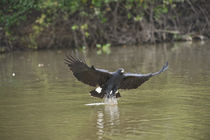 Great Black hawk (Buteogallus urubitinga) pouncing over water for prey by Panoramic Images