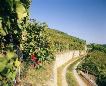 Gravel road passing through vineyards von Panoramic Images