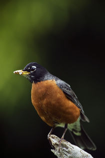 American robin (Turdus migratorius) on perch von Panoramic Images