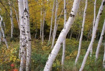 Stand Of White Birch Trees von Panoramic Images