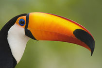 Close-up of a Toco toucan (Ramphastos toco) von Panoramic Images