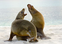 Two Galapagos sea lions (Zalophus wollebaeki) on the beach von Panoramic Images