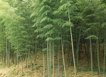 Bamboo trees in a forest, Fukuoka, Kyushu, Japan by Panoramic Images