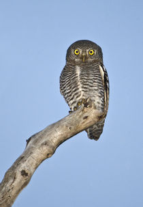 Owlet perching on a tree von Panoramic Images