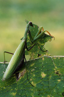 Rear view of praying mantis holding leaf, Canada. by Panoramic Images