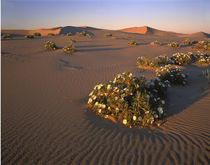 USA, California, Mojave Desert, Dune primrose von Panoramic Images