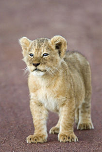 Close-up of a lion cub standing by Panoramic Images