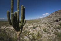 Cactus plants in a desert, Quilmes, Tucuman Province, Argentina von Panoramic Images