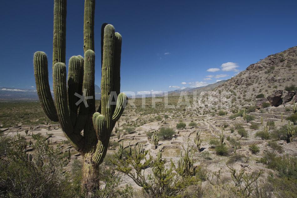 Cactus plants in a desert quilmes tucuman province for Cactus argentina