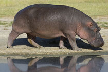 Side profile of a hippopotamus walking von Panoramic Images