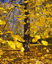 Close-up of yellow leaves of a tree, Stuttgart, Baden-Wurttemberg, Germany by Panoramic Images