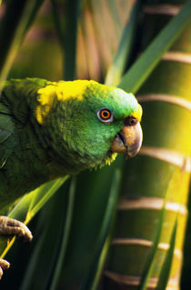 Yellow-naped amazon parrot on perch, portrait profile, Roatan, Honduras. by Panoramic Images