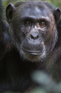 Close-up of a chimpanzee (Pan troglodytes), Kibale National Park, Uganda by Panoramic Images