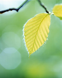 Close up of pale green leaves hanging from branch by Panoramic Images