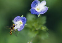 Bee pollinating a flower von Panoramic Images