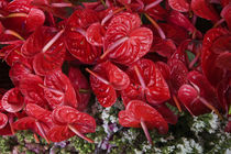 Close-up of Flamingo flowers (Anthurium andraeanum) in a flower market by Panoramic Images