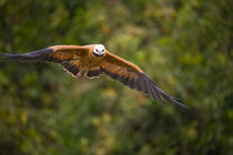 Black-Collared hawk (Busarellus nigricollis) in flight von Panoramic Images
