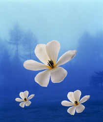 Three white orchids floating in foggy blue sky  by Panoramic Images