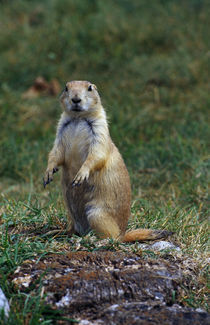 Prairie dog sitting up in grass, looking at camera, North Dakota, USA. by Panoramic Images