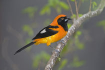 Orange-Backed troupial (Icterus croconotus) perching on a branch by Panoramic Images