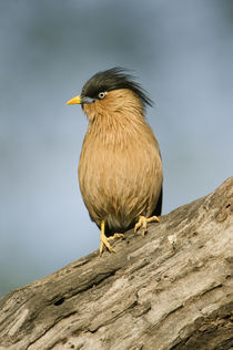 Close-up of a Brahminy Starling (Sturnia pagodarum) perching on a tree von Panoramic Images