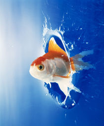 Orange, yellow and white fish flying through water splash by Panoramic Images