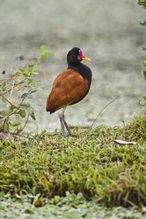 Wattled jacana (Jacana jacana) on grass von Panoramic Images
