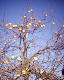 Low angle view of a ripe persimmon tree in December by Panoramic Images