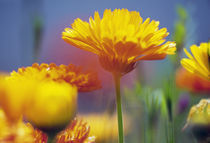 Wildflowers in bloom, soft focus close up, Oregon, united states, by Panoramic Images