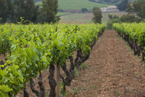 Vines in a vineyard, Jerzu, Ogliastra, Sardinia, Italy by Panoramic Images