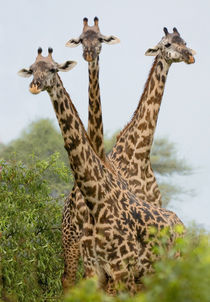 Three Masai giraffe standing in a forest by Panoramic Images