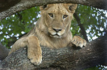 Close-up of a lion, Lake Manyara, Arusha Region, Tanzania (Panthera leo) von Panoramic Images
