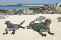 Two Marine iguanas (Amblyrhynchus cristatus) on sand, Galapagos Islands, Ecuador by Panoramic Images