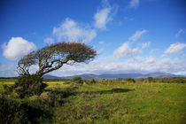 Windswept Tree and Comeragh Mountains, County Waterford, Ireland by Panoramic Images