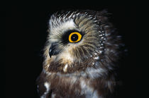 Saw-Whet Owl von Panoramic Images