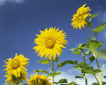 Close-up of sunflowers (Helianthus annuus), Japan by Panoramic Images