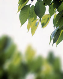 Green leaves on branch with blurry trees von Panoramic Images