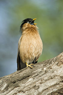 Close-up of a Brahminy Starling (Sturnia pagodarum) calling on a tree von Panoramic Images
