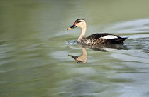 Spot-Billed duck (Anas poecilorhyncha) swimming in a lake by Panoramic Images