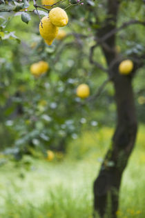 Lemons growing on a tree, Sorrento, Naples, Campania, Italy von Panoramic Images