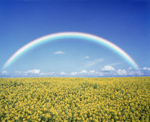Rainbow spans over a field of yellow flowers by Panoramic Images