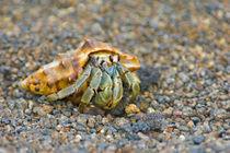 Close-up of a Hermit crab (Coenobita clypeatus), Galapagos Islands, Ecuador von Panoramic Images