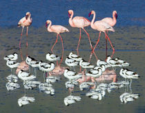 Avocets and flamingos standing in water by Panoramic Images