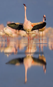 Lesser flamingo wading in water, Lake Nakuru, Kenya (Phoenicopterus minor) by Panoramic Images