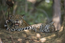 Jaguars (Panthera onca) resting in a forest by Panoramic Images