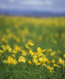 Yellow flowers in a field by Panoramic Images