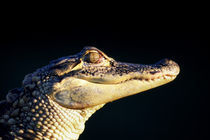 American alligator (Alligator mississipiensis) by Panoramic Images