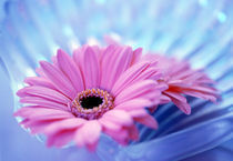 Close up of two pink gerbera daisies in water ripples von Panoramic Images